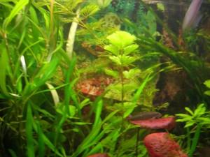 Сіамський водоростеїд
